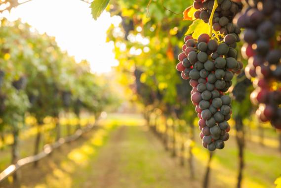 Viticulture : la France prête à renoncer à 40 millions d'euros d'aides européennes