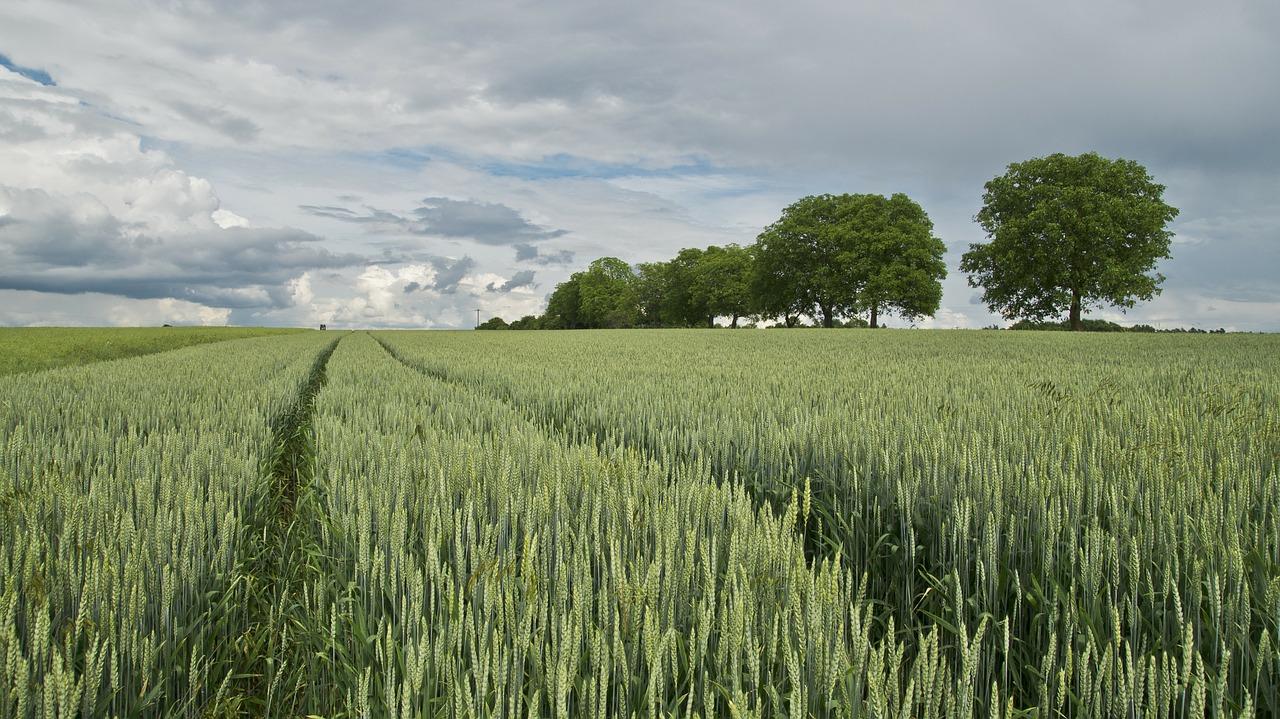 La production de blé en France en chute libre