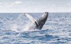 Le Japon va reprendre la chasse commerciale à la baleine