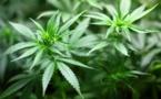 Le Conseil d'analyse économique recommande la légalisation du cannabis