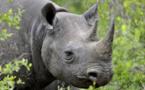 L'Afrique veut légaliser le business des cornes de rhinocéros