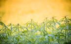 Cannabis : des entrepreneurs créent une banque spécialisée