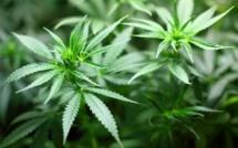 Vers une simple amende pour consommation de cannabis ?