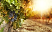 L'Italie reprend sa place de premier producteur de vin du monde