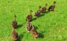 Crise dans la filière canard : l'État débloque des millions d'euros